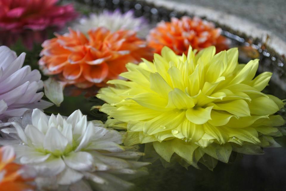 岡寺 天竺牡丹の華の池