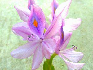 布袋葵、布袋草の写真