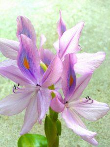 布袋葵の写真