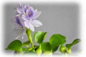 布袋葵の写真、栽培