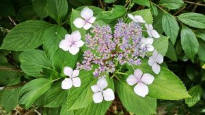 アジサイ 紫陽花の写真