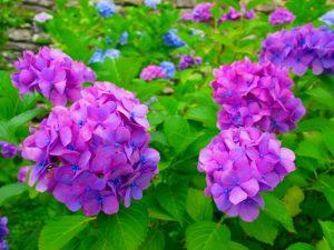 和歌山城 鶴の渓 アジサイ 紫陽花の写真