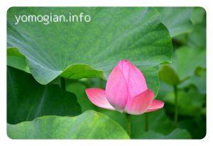 久安寺 kyuuannji 蓮の花の写真