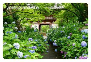 紫陽花の道 写真