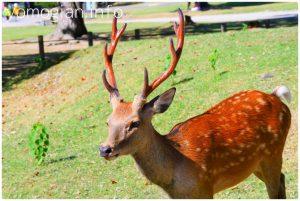 奈良市の写真 鹿