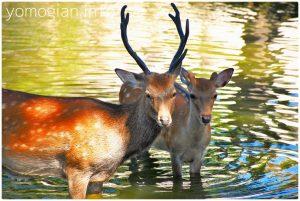 鹿の行水 奈良市の写真