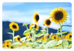 大原野 向日葵