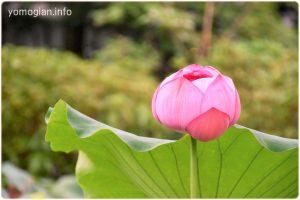 京都府立植物園の写真 蓮