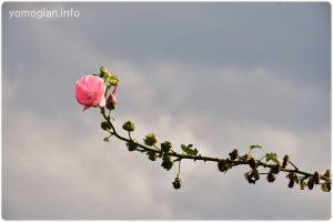 京都府立植物園の写真 薔薇