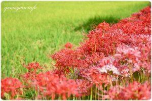 田んぼに咲く彼岸花の写真