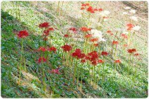 明日香村の彼岸花の写真