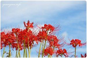 明日香村の彼岸花の写真 曼珠沙華