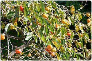 柿の木の実