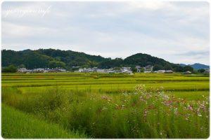 田園とコスモスの写真