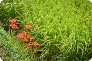 明日香村散策と曼珠沙華の写真(133)