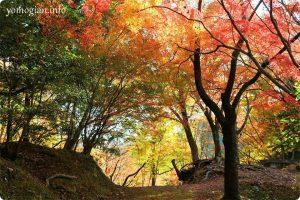 延命寺(河内長野市)の写真です。 モミジ