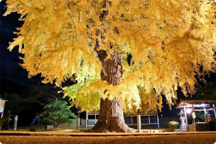 丹生酒殿神社の大銀杏のライトアップの写真