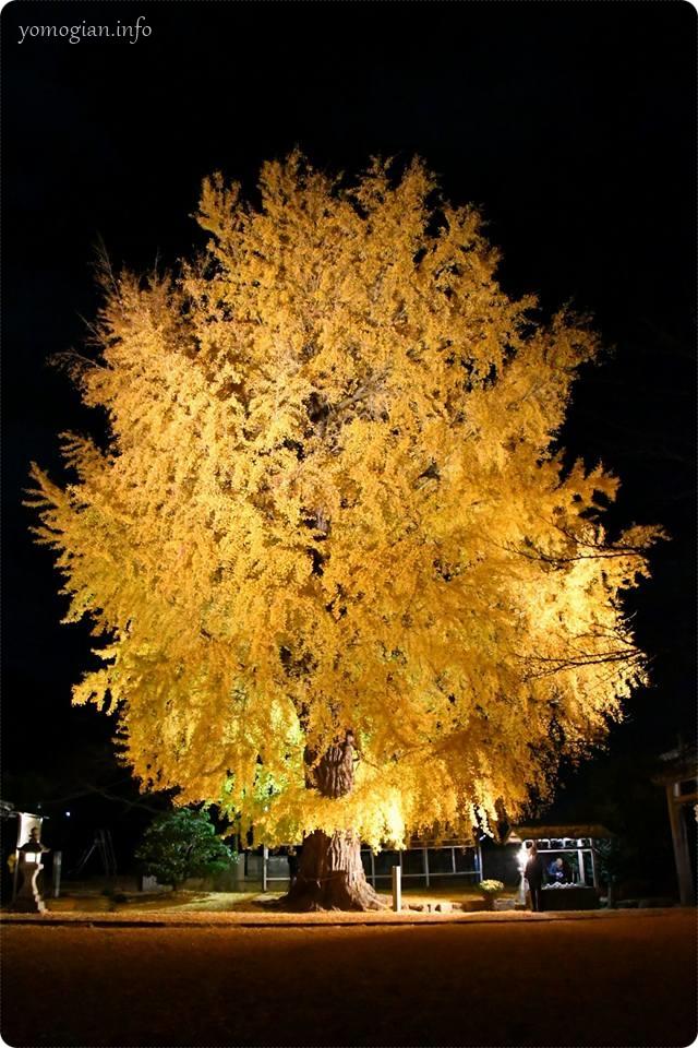 丹生酒殿神社の大銀杏のライトアップの写真、画像
