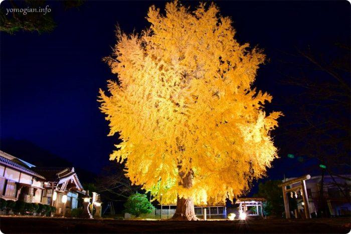 丹生酒殿神社の大銀杏のライトアップ、すごく大きくて立派なイチョウ
