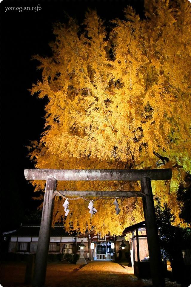 丹生酒殿神社(かつらぎ町)にある大銀杏のライトアップ