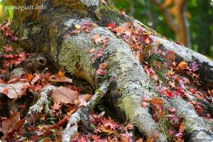 木にモミジの写真
