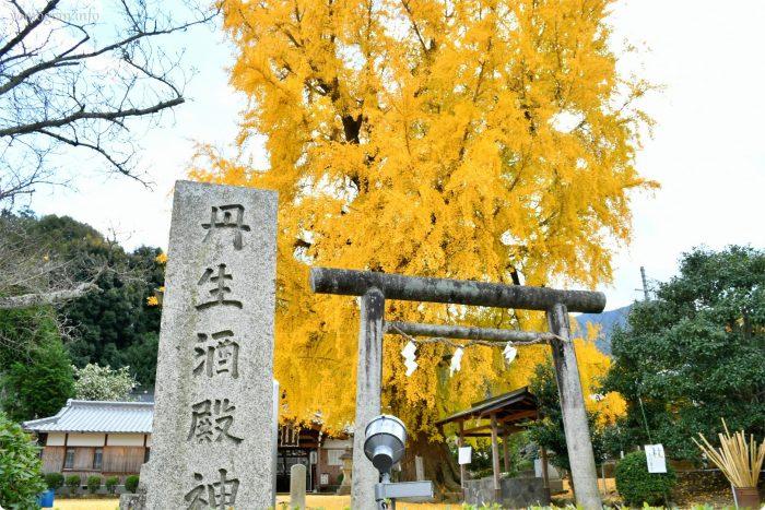 丹生酒殿神社の大銀杏の写真、画像
