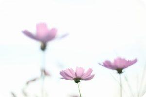 橿原市散策 コスモス 写真
