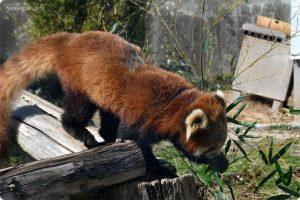 みさき公園の写真 レッサーパンダ
