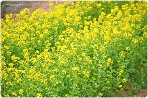 明日香村にある甘樫丘の菜の花の写真