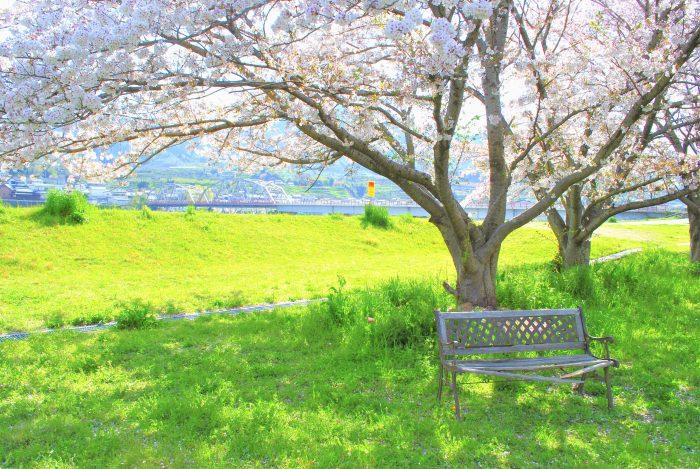 向島ちびっこ広場の桜