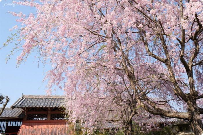 勝利寺(しょうりじ)の桜の写真