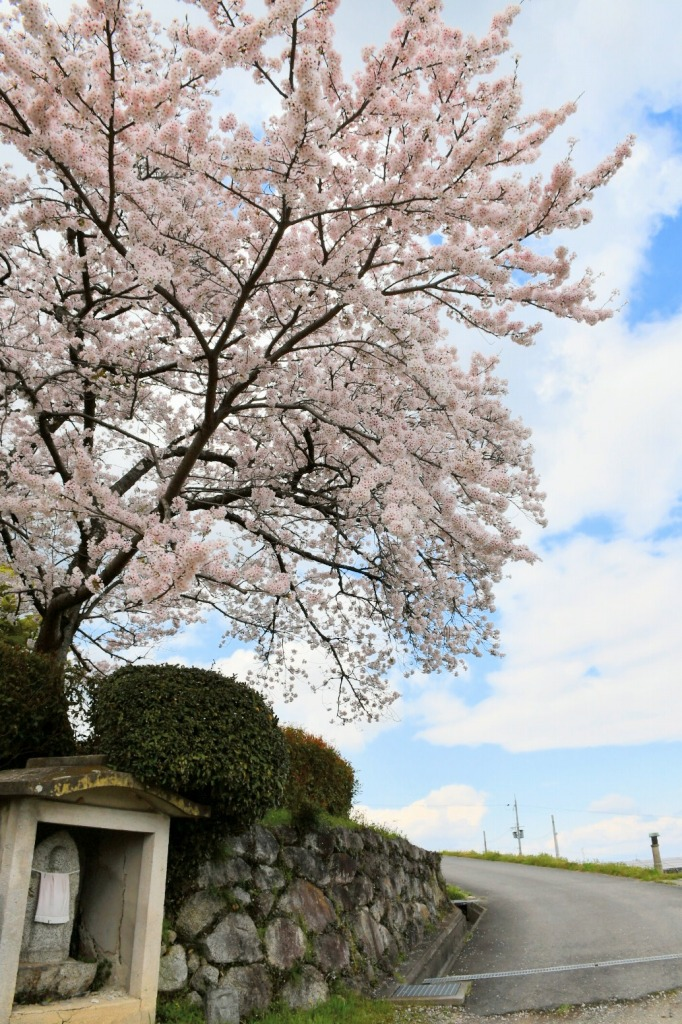 春の九本寺の写真 桜