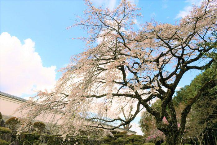 春の九本寺の写真 桜 奈良県御所市