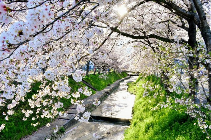 柳田川の桜並木の写真
