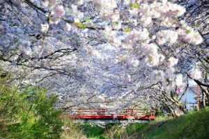 御所市にある柳田川の桜の写真