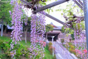 高野口八幡神社(名倉八幡神社)の藤の花