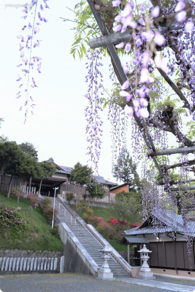 高野口八幡神社の藤の花