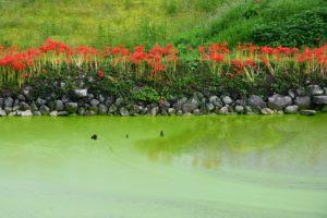 ため池と彼岸花
