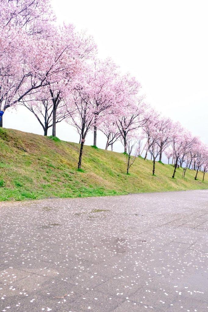 狭山池博公園のコシノヒガンザクラ