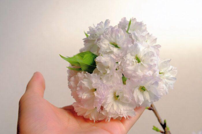 八重桜(松月桜)