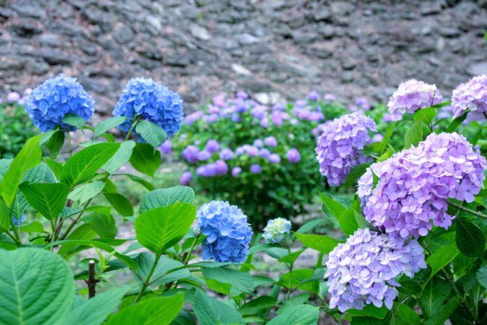 和歌山城の写真 紫陽花