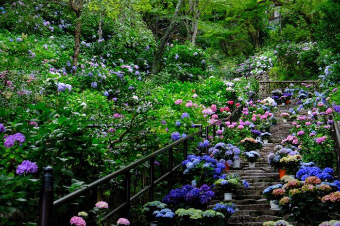 hasedera 長谷寺 奈良県 紫陽花の写真