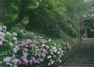 長谷寺 奈良県 紫陽花